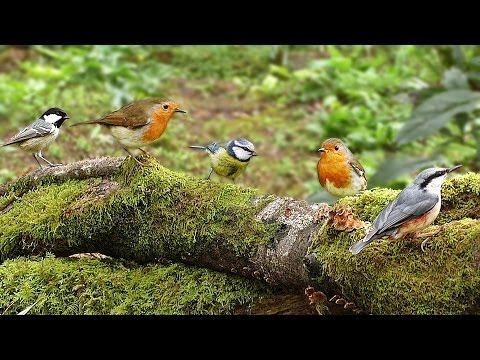 Woodland Birds – Vögel – Oiseaux – Vogels – Fåglar – Aves