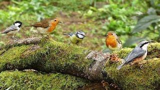 Vogels in Slow Motion :  Bosvogels