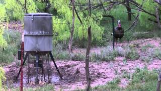 2015 spring turkey bowhunt crowell, texas