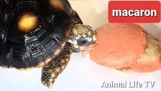 ASMR turtle love macaron torto…