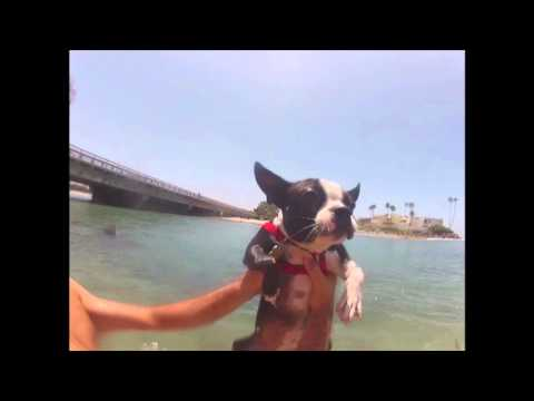 Boston Terrier Puppy Practices Doggy Paddle