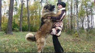 Дрессировка кавказских овчарок  Кавказская овчарка Нурхан ( урок 2)