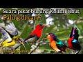 Suara Pikat Burung Kolibri Ribut Paling Dicari Untuk Para Pemikat  Mp3 - Mp4 Download