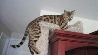 My Bengal Cat Is Broken