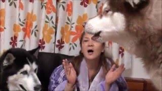 シベリアンハスキー犬達とクリスマス Christmas huskydog 子供達(孫達...