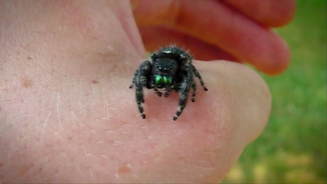 Black jumping spider with red dot - photo#18