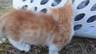 MUNCHKIN DWARF RUG HUGGER 2014 CHRISTMAS KITTENS FOR SALE