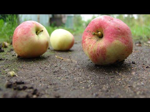 Сорта яблонь для северо-западной зоны