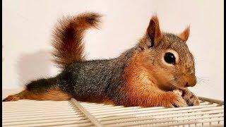 Süper Sincap Alf the Squirrel