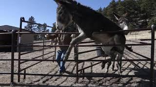 Phase 1: Gentling - Training Wild Burros