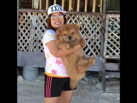 Chowchow Puppy Bella