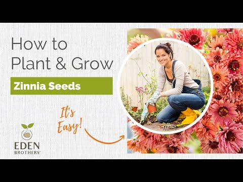 Growing Zinnia From Seed
