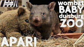 WOMBAT-BABY Apari nun HANDAUFZUCHT im ZOO DUISBURG | zoos.media