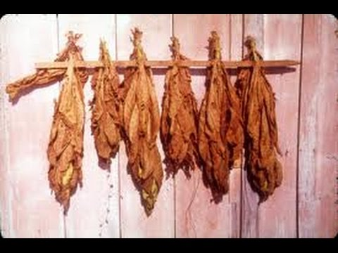 Tobacco Fermenting Explained And Tips