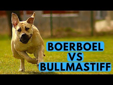 Boerboel vs Bullmastiff Comparsion