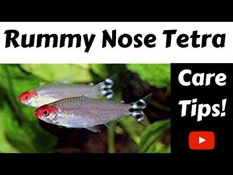 Rummy Nose Tetra Care Tips