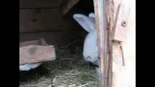 белый фландр ризен самка