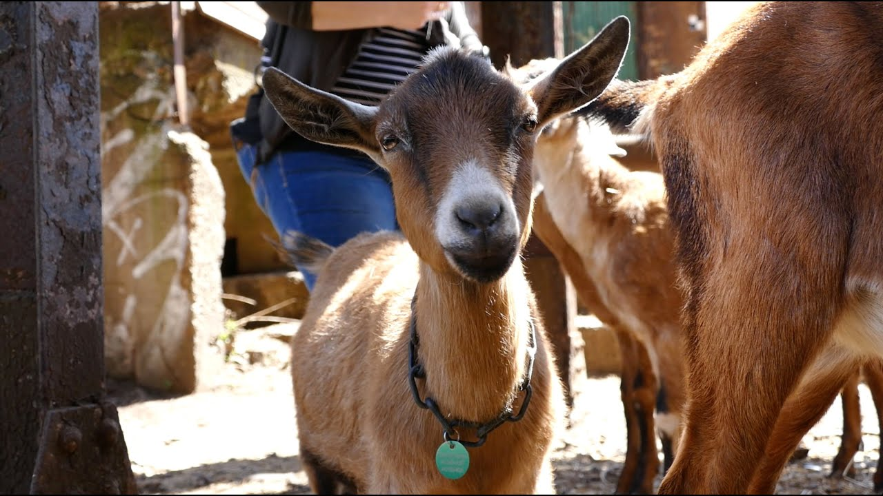 goats from steel city grazers frolic at pittsburgh u0027s carrie