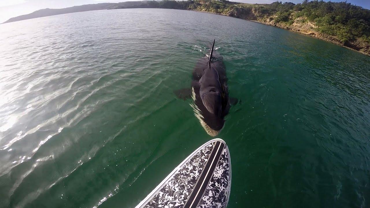 Hd Great White Shark Wallpaper Gopro Awards Orca Vs Paddle Board Youtube