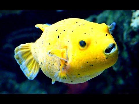 Cara merawat ikan buntal air tawar how to care fresh for Freshwater puffer fish care