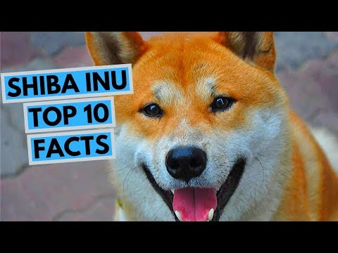 Shiba Inu - TOP 10 Interesting Facts
