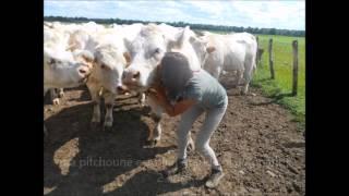 histoires de vaches! 3 charolaises d'amour chères à mon coeur
