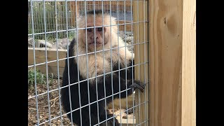 Animal Adventures with Jordan: Black and White Capuchins thumbnail