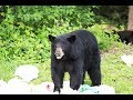 Close Encounter with 3 Bears
