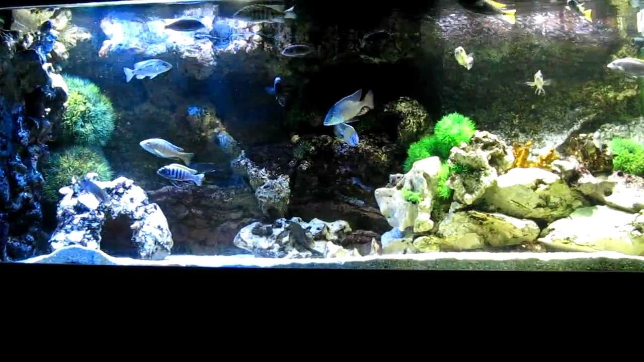 450 liter malawi aquarium mit led beleuchtung youtube. Black Bedroom Furniture Sets. Home Design Ideas
