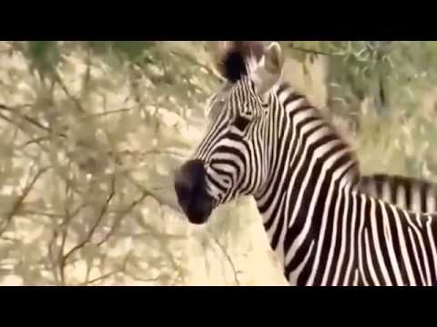 Super Hunting Lions Animals - BBC Documentary Animals - Documentary National Geographic 20