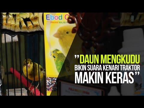 Download Lagu SUARA BURUNG : Kenari Traktor Ngedur Panjang Pemakan Daun Mengkudu