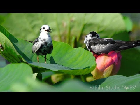 Крачки белокрылые и лотос. White-winged tern - lotus. Астраханский заповедник.
