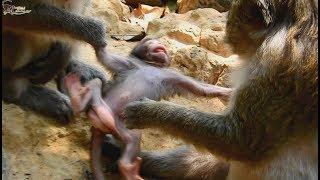 Who My Mom ? Monkey do bad on baby monkey, Baby Chikis cry loudly/Wild Monkey