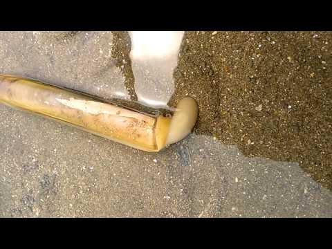 모래속으로 들어가는 맛조개..