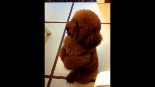 Toy Poodle Begging For Food (cutest Trick Ever!!)