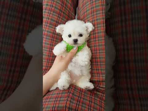 Cute Puppies Bichon Frise Baby You