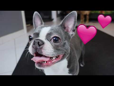 Boston Terrier Therapy   BarkBox May 2019