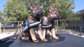 Watch Puppies Who Are Training To Be Police K9's Get Distracted By Toys