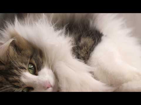 The Norwegian Forest Cat | Royal Canin Feline Breed Nutriton