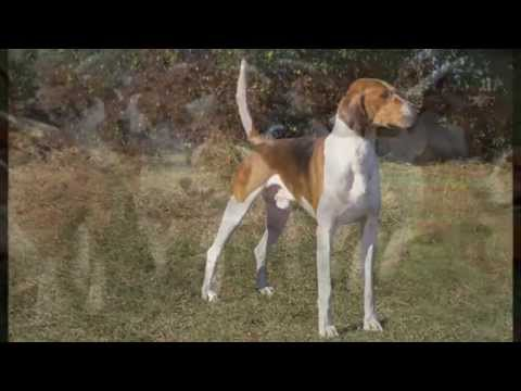 This American Foxhound Puppies dog Will Make You Falling in Love!!