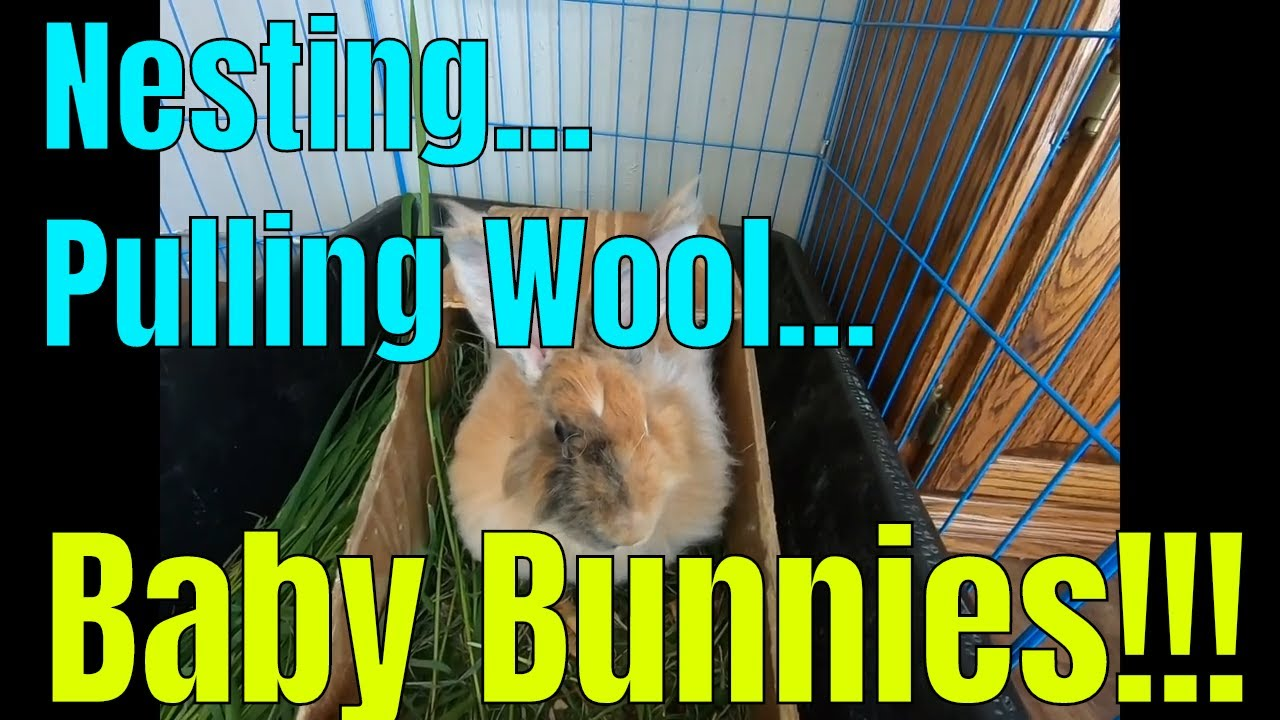 Nesting, pulling wool and brand new baby bunnies on video