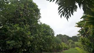 Breadfruit-A Tree of Importance to Hawaii