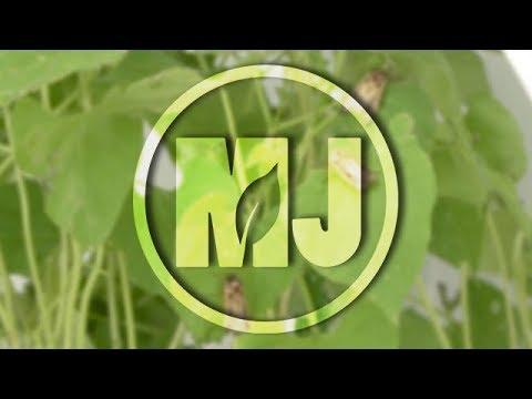 Western Bean Cutworm - Julie Peterson - August 18, 2017