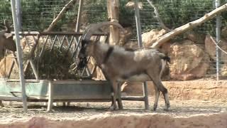Baixar Cretan goat - Kri-kri