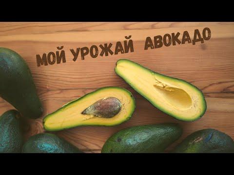 Мой урожай Авокадо из косточки! Как определить спелость Авокадо? Как извлечь косточку у Авокадо?