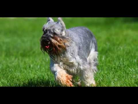 animals Miniature Schnauzer Dog video