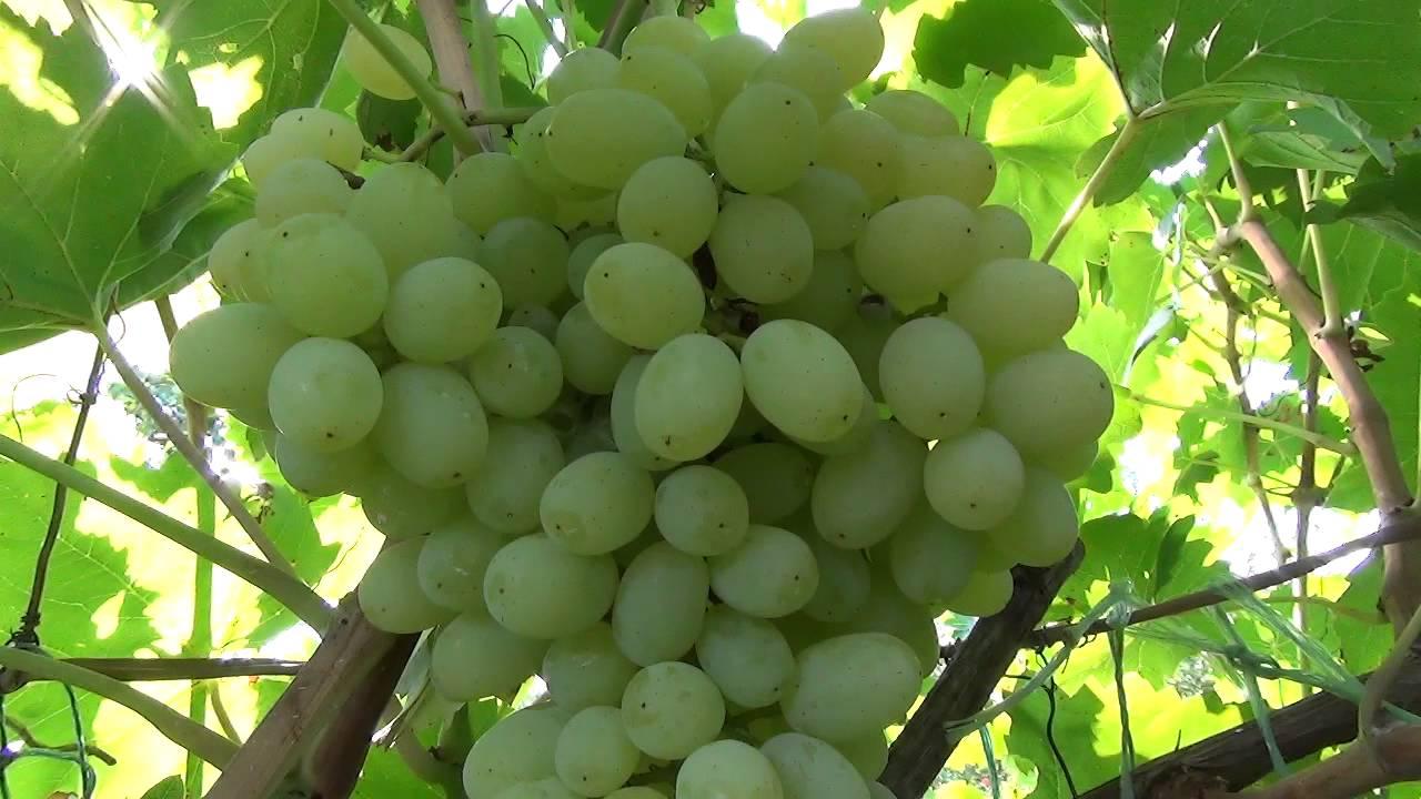 обрезка винограда кишмиш на зиму