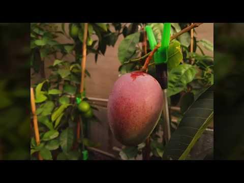 Манго, обзор плодов + пересадка