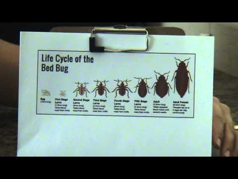 Life Cycle of Bed Bugs - YouTube