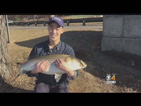Harvard Grad Student Catches 25-Pound Striped Bass In Charles River